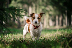 Dog Jack Russell Terrier walks on nature. Dog Jack Russell Terrier walks in the park, summer royalty free stock photo