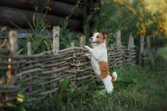 Dog Jack Russell Terrier at the wooden fence in the garden stock images
