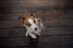 Dog Jack Russell Terrier on a wooden floor Stock Photography