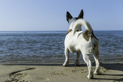 Dog Jack Russell waiting his owner on the beach, Italy. Dog Jack Russell waiting his owner on the beach close to the sea, Italy Royalty Free Stock Photography