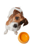 Dog Jack Russell is waiting for meal Royalty Free Stock Photography