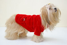 Dog in jacket Royalty Free Stock Image