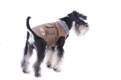 Dog in jacket Royalty Free Stock Image
