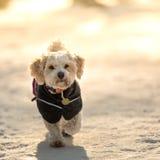 Dog with jacket stock photo