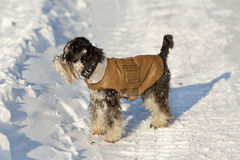 Dog in jacket on snow Stock Photography