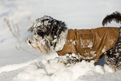 Dog in jacket on snow Royalty Free Stock Image