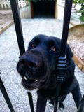 Dog in jail. Dangerous black dog Royalty Free Stock Photos
