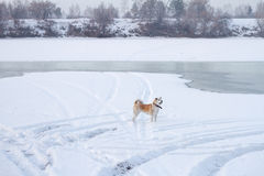 Dog Japanese Akita on the banks of the frozen river in the winter. Royalty Free Stock Images