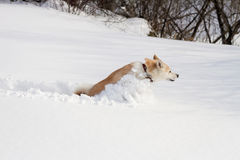 Dog Japanese Akita Inu is rapidly running through the snow drifts in the field. Snow scatters around royalty free stock photography