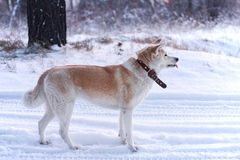 Dog japanese akita inu at sunset in the woods in the snow. Royalty Free Stock Photography