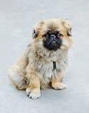 Dog - Japanese Chin Royalty Free Stock Photo