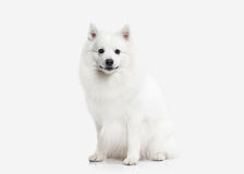 Dog. Japanese white spitz on white background Royalty Free Stock Photography