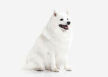 Dog. Japanese white spitz on white background Stock Photos