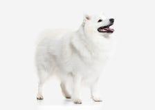 Dog. Japanese white spitz on white background Royalty Free Stock Photos