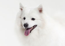 Dog. Japanese white spitz on white background Stock Photo