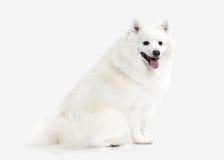 Dog. Japanese white spitz on white background Stock Photos