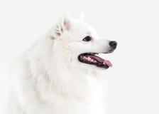 Dog. Japanese white spitz on white background Stock Image