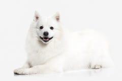 Dog. Japanese white spitz on white background Stock Images