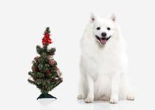 Dog. Japanese white spitz on white background Stock Photo