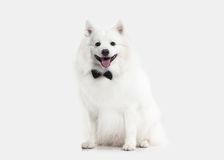 Dog. Japanese white spitz on white background Stock Images