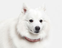 Dog. Japanese white spitz on white background Stock Photography