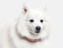 Dog. Japanese white spitz on white background Stock Photography