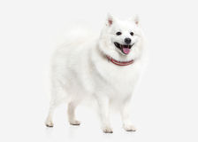 Dog. Japanese white spitz on white background Royalty Free Stock Image