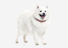 Dog. Japanese white spitz on white background Royalty Free Stock Image