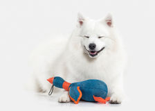 Dog. Japanese white spitz on white background Royalty Free Stock Photos