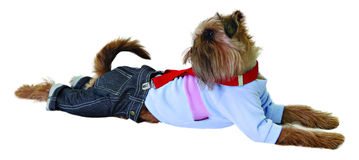 Dog in jeans and sweater Royalty Free Stock Photo
