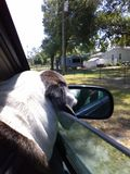 Dog Joy riding. Going to the groomers Royalty Free Stock Images