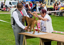 Dog judging at Cartmel Show 2011 Stock Photography