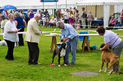 Dog judging at Cartmel Show 2011 Royalty Free Stock Photos