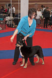 Dog juged. Labrador dogs in front of the judge at Eukanuba dog show Stock Photos