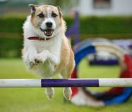 Dog Jump. A Family active dog jumping a hurdle having private agility training for an agility sport competition Stock Images