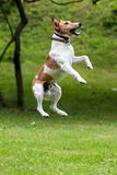 Dog jump into the air Stock Images
