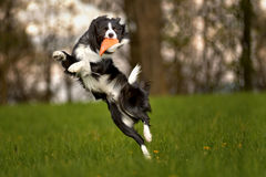Dog jump. Border Collie in jump on a meadow Royalty Free Stock Image