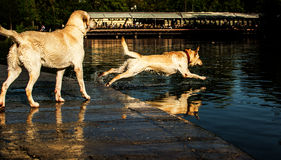 Dog Jump. Ing into the water Royalty Free Stock Images