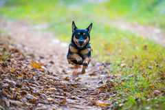 Dog jump while running up in the air Stock Images