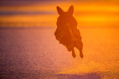 Dog jump. Up in the air in orange winter sunset light, amazing moments royalty free stock photography