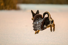 Dog jump up royalty free stock image