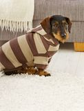 Dog in jumper Stock Photography