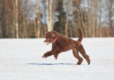 Dog jumpin in the snow Royalty Free Stock Photos