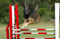 Dog jumping. Active Belgian Shepherd dog jumping a hurdle in private training for agility sport competition Royalty Free Stock Photography