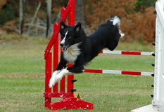 Dog jumping. Active Border Collie Dog jumping a hurdle having private hurdle training for agility sport competition Royalty Free Stock Image