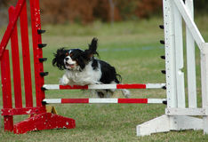 Dog jumping. Active little Cavalier King Charles Spaniel dog jumping a hurdle in private training for an agility sport competition Stock Image