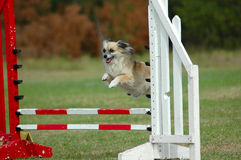 Dog jumping. Active small little dog jumping a hurdle towards his master having private agility training for an agility sport competition Stock Photography