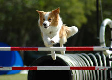 Dog jumping. A small little active dog jumping a hurdle having private agility training for an agility sport competition Stock Photo