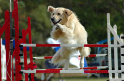 Dog jumping. An active Golden Retriever dog jumping a hurdle having private training for an agility sport competition Stock Photo