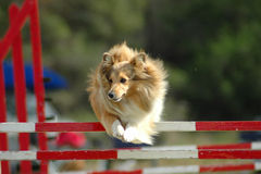 Dog jumping. An active little Sheltie dog jumping a hurdle having private agility training for an agility sport competition Royalty Free Stock Images